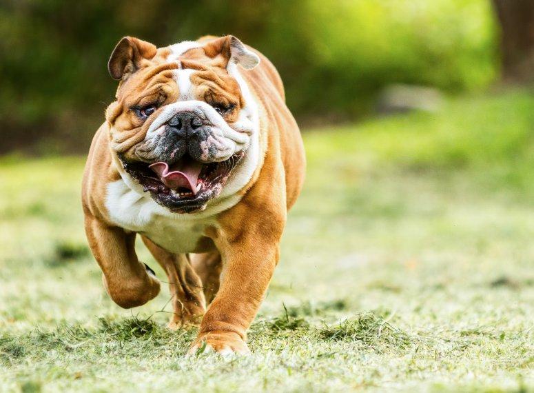 Informações sobre a raça Bulldog Inglês