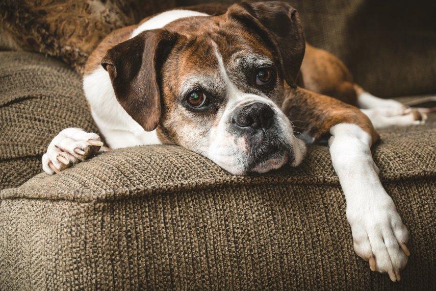 O que é a Síndrome da Disfunção Cognitiva em cães