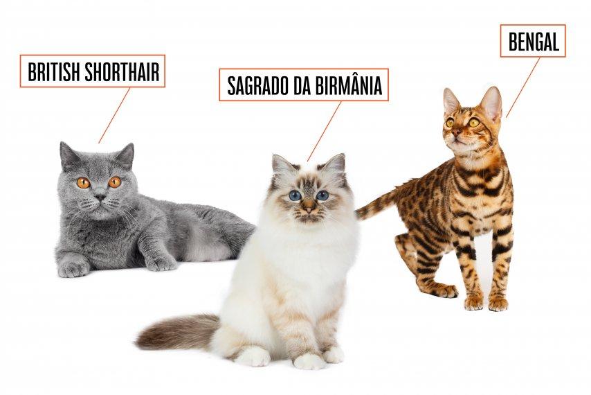 Raças incríveis de gatos