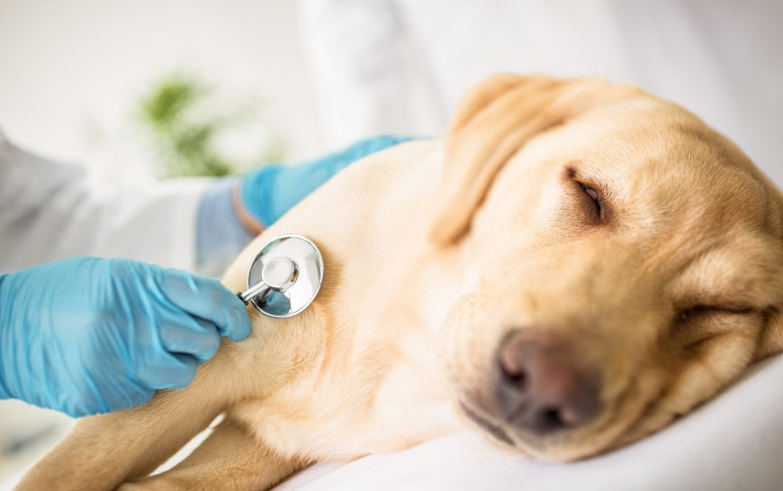 Sinais de problemas cardíacos em cães