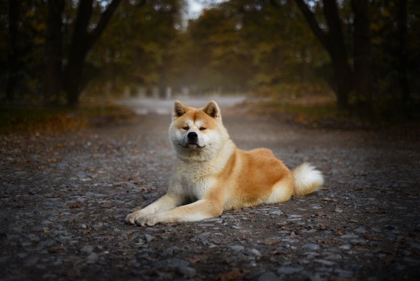Informacoes sobre a raca Akita Inu