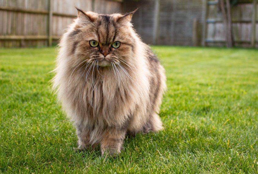 As 4 principais racas de gatos de pelo comprido