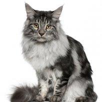 Gatos castrados: saiba mais sobre comportamento e alimentação dos felinos